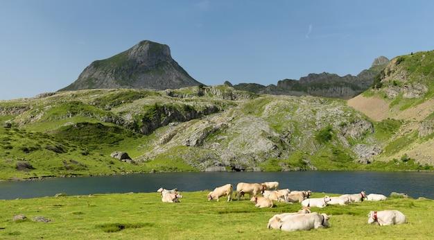 高山の牧草地で牛の群れ