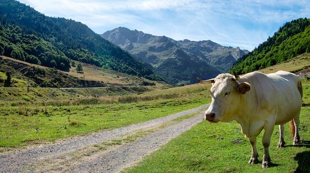 フランスのピレネー山脈のオッサウ渓谷の白い牛の放牧