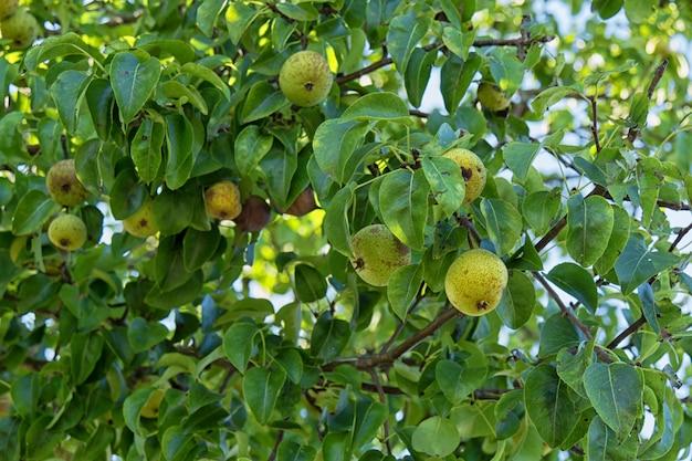 Красивые зеленые яблоки на дереве