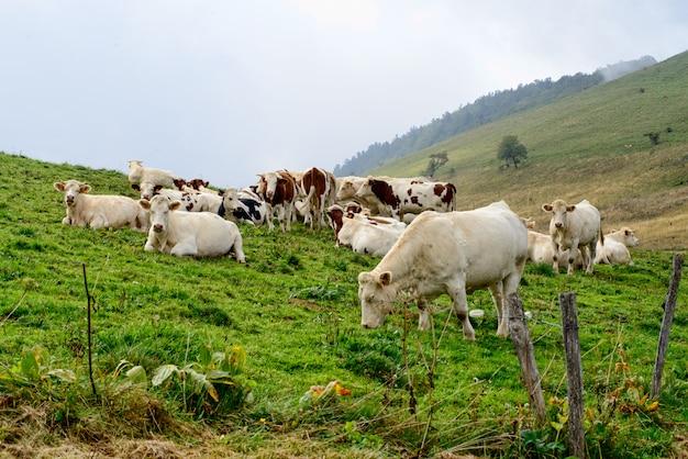 Коровы на горных пастбищах