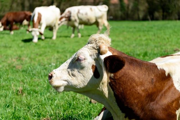 Закройте голову коровы