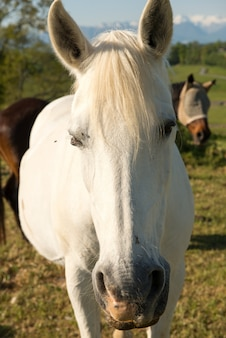 美しい白い馬の肖像画