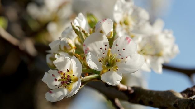Весеннее цветение груша