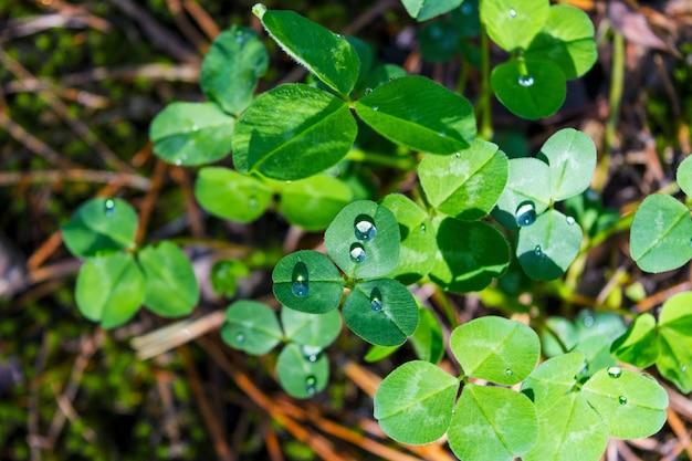 Зеленый клевер листья с каплями росы