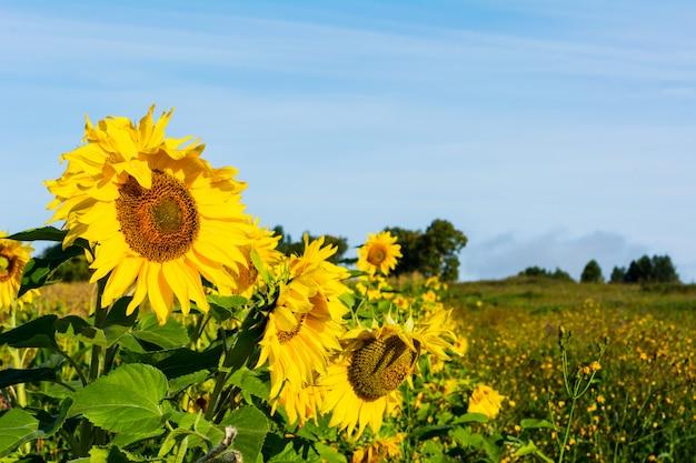 黄色いヒマワリと農地の風景