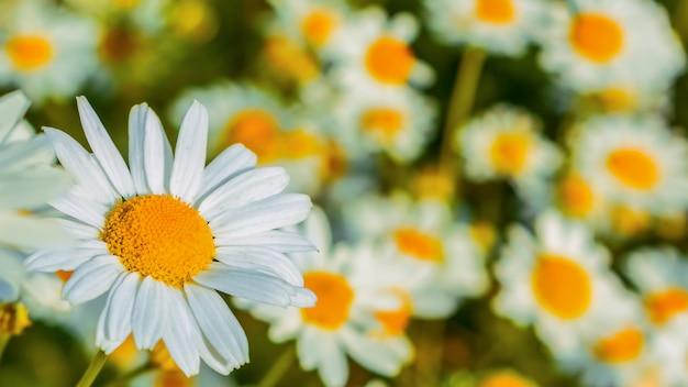 夏の草原のセレクティブフォーカスで咲くヒナギク