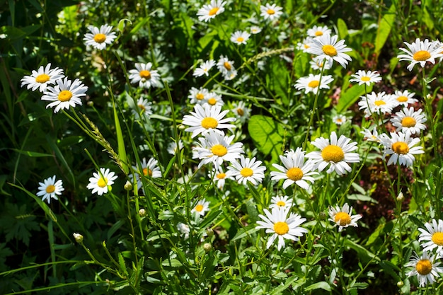 Летнее поле белых ромашек