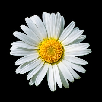 黒に分離された咲く白いデイジーの花