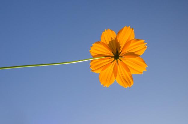 Цветок серы космоса против голубого неба