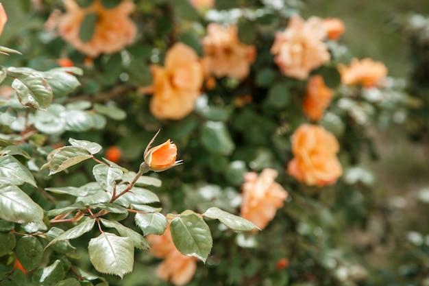 オレンジ、淡いピンクの繊細なバラのクローズアップ。被写界深度が浅いセレクティブフォーカス