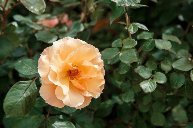 オレンジ、淡いピンクの繊細なバラのクローズアップ。