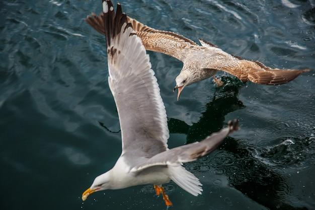 イスタンブールの桟橋でカモメが飛んで食べます。