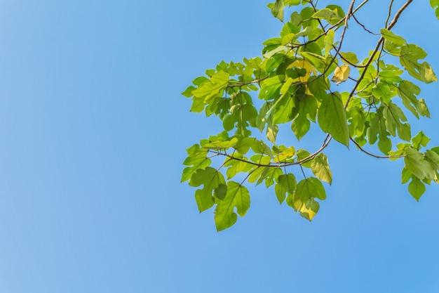 Рост ветвей свежих листвы