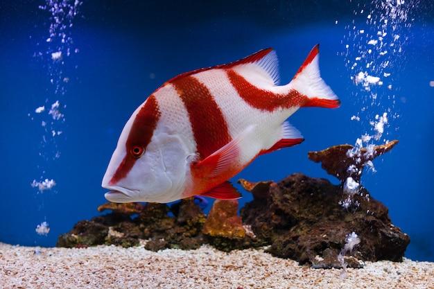 Красный окунь рыба в аквариуме