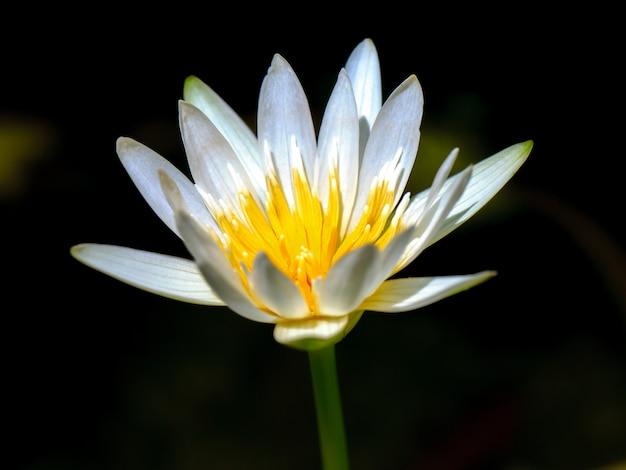 白い蓮の花をクローズアップ