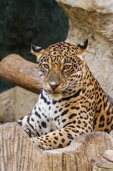 Умный леопард крупным планом