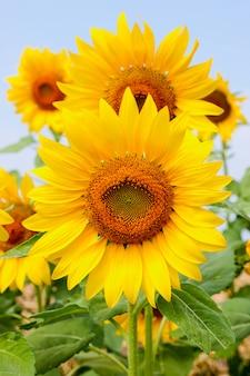 ひまわりの花をクローズアップ