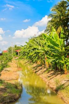 タイの果樹園のバナナの木