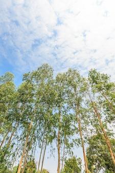 Эвкалиптовое дерево на голубом небе