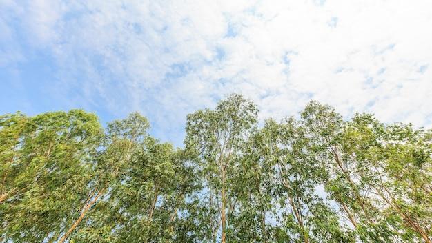 青い空にユーカリの木