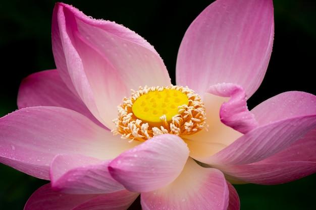 蓮の花を閉じる