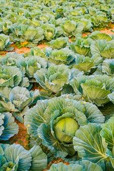 タイのキャベツ畑