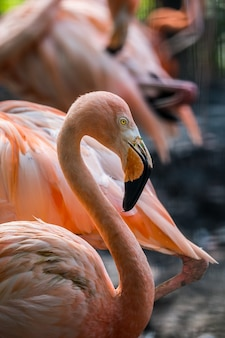 ピンクのフラミンゴの鳥のクローズアップ