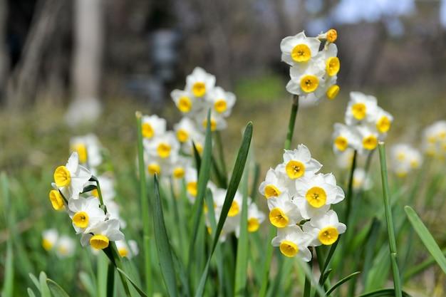 咲く水仙のクローズアップ