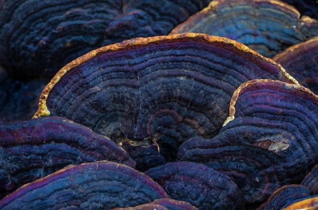 伝統的な東洋医学と治療のためのエキゾチックな木のきのこ。メシマコブ抽象。
