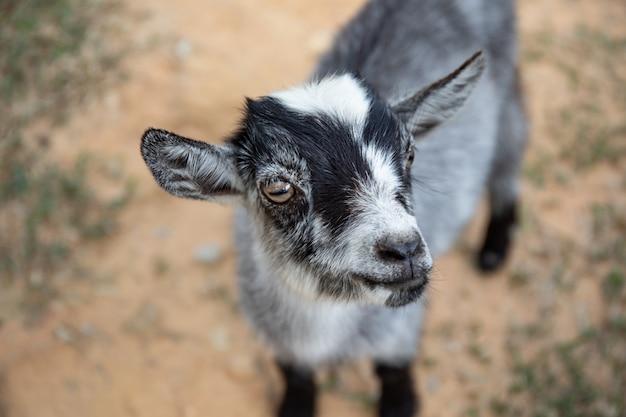 赤ちゃんかわいい黒とグレーのヤギの笑顔