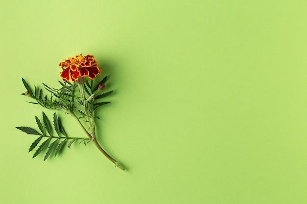 Плоская композиция с цветами календулы на зеленом фоне