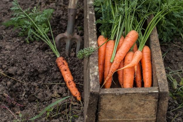 古い箱に新鮮なニンジン。野菜収穫