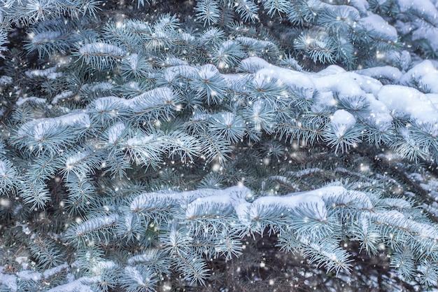 雪の中でモミの枝。冬のコンセプト。