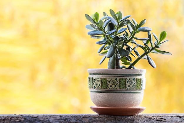 Счастливое растение или денежное дерево на желтом фоне