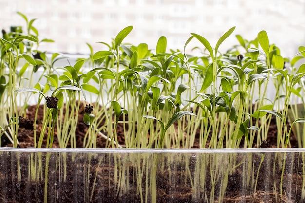 鉢植えの苗と若い植物の行