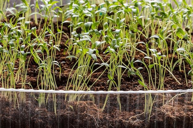 鉢植えの苗と若い植物の行。