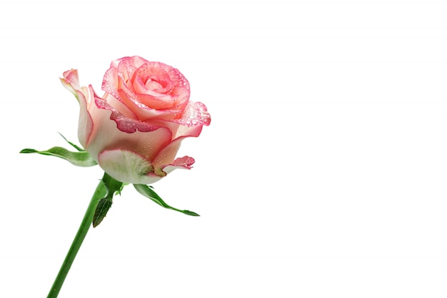 白で隔離される美しいバラ