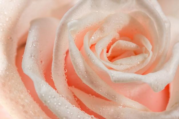 露滴とピンクのバラ