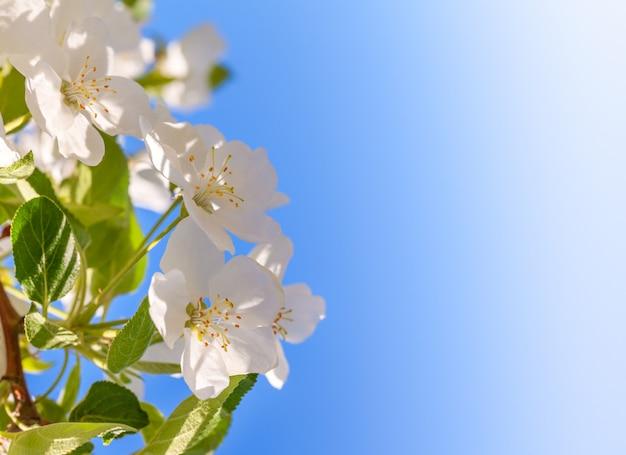 花のリンゴの木。白い春の花のクローズアップ。コピースペース。