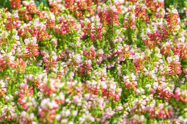 Цветочный фон мелких цветущих колокольчиков розового и фиолетового цвета.