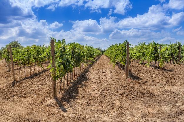 イタリア、トスカーナのブドウ畑の長い列。
