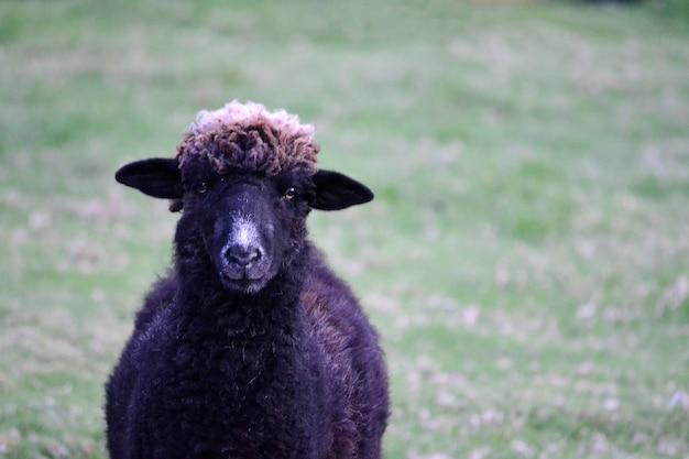 美しい黒い羊の目平和