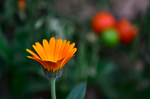 デフォーカス美しいオレンジ色の自然の庭
