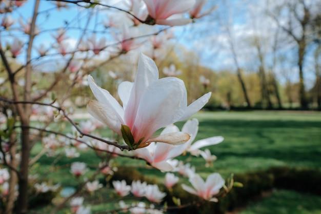 春の公園で大きなピンクの花とつぼみマグノリア