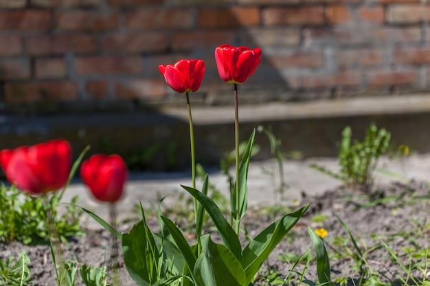 春の庭の美しい赤いチューリップ