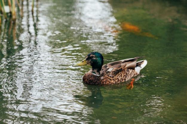 アヒルの池