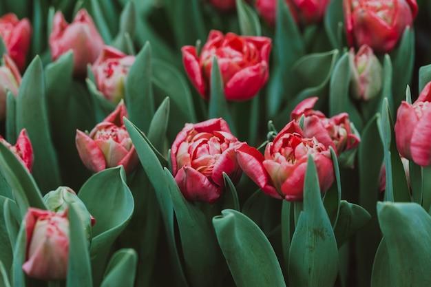 Плантация тюльпанов в теплице
