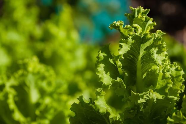 Свежие листья салата, крупным планом
