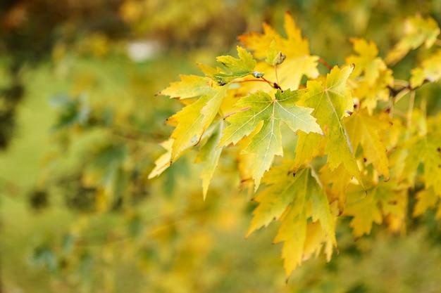 黄色のカエデの葉。閉じる