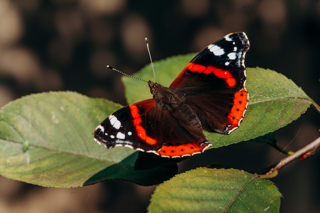 ヴァネッサ・アタランタまたは赤提督。黒い翼、オレンジ色の帯、白い斑点のある美しい蝶